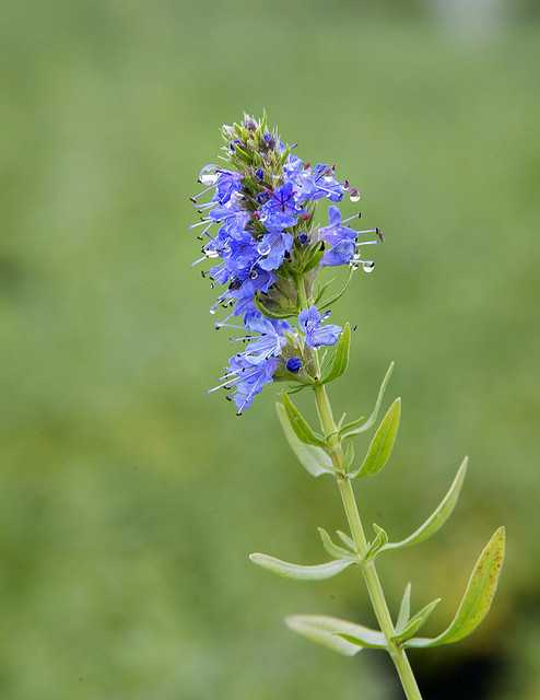 plant that hyssop essential oil is distilled from