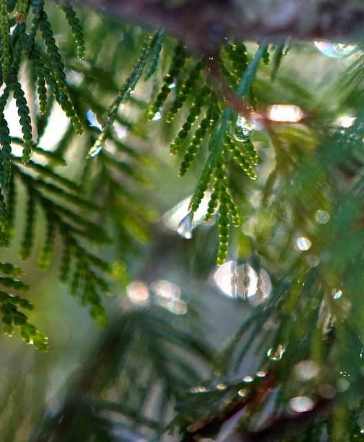 tree that cedarwood essential oil is distilled from